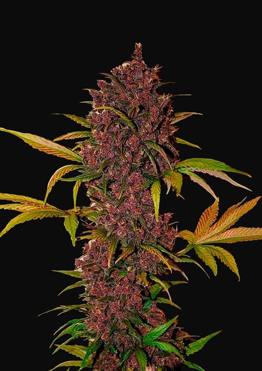 LSD-25 (Autoflowering Seeds)