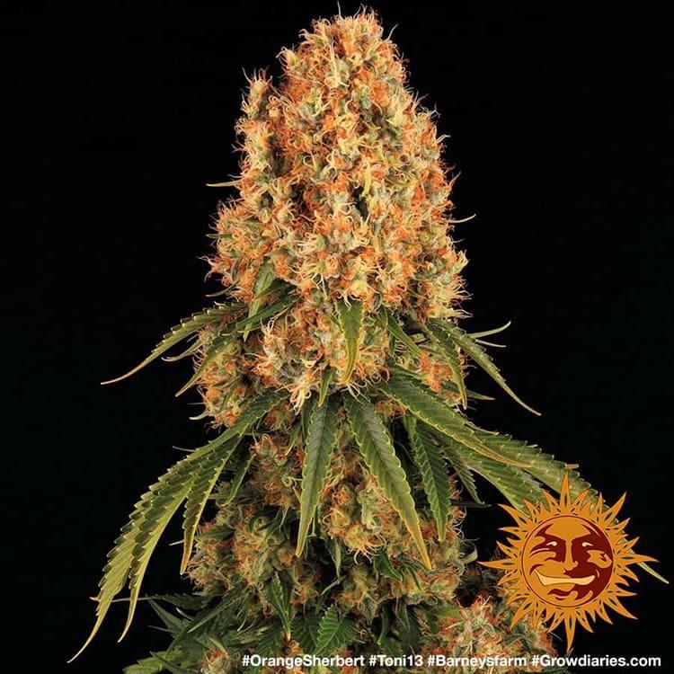 Buy Orange Sherbert (Feminized Seeds)