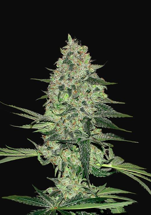Rhino Ryder (Autoflowering Seeds)