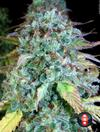 Serious Happiness (Feminized Seeds)