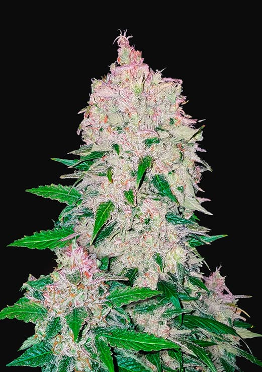 A robust plant that can grow up to 1.2m in height. Growers can expect a main cola to shoot up, accompanied by widening side branches.