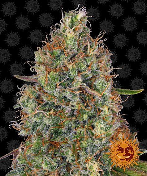 Buy Sweet Tooth Auto (Autoflowering Seeds)