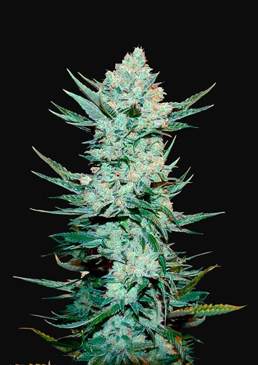 Tangie'Matic (Autoflowering Seeds)