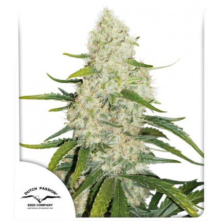 Think Big (Autoflowering Seeds)