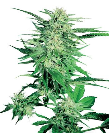 Big Bud (Feminized Seeds)