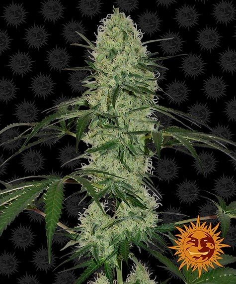 Buy Tangerine Dream (Autoflowering Seeds)