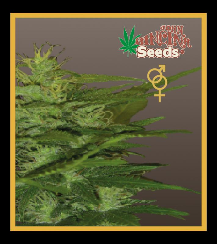 Zenta (Regular Seeds)