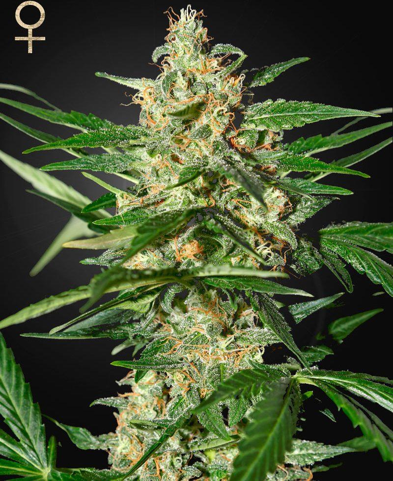 Best cannabis strain