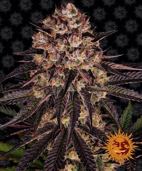 Biscotti Mintz (Feminized Seeds) - Barney's Farm