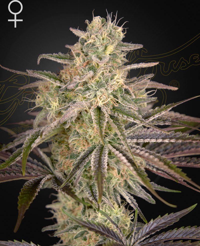 Cloud Walker (Feminized Seeds) - Green House Seeds