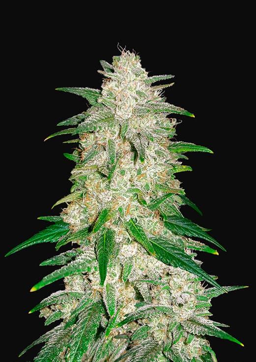 Gelato Auto (Autoflowering Seeds) - Fast Buds
