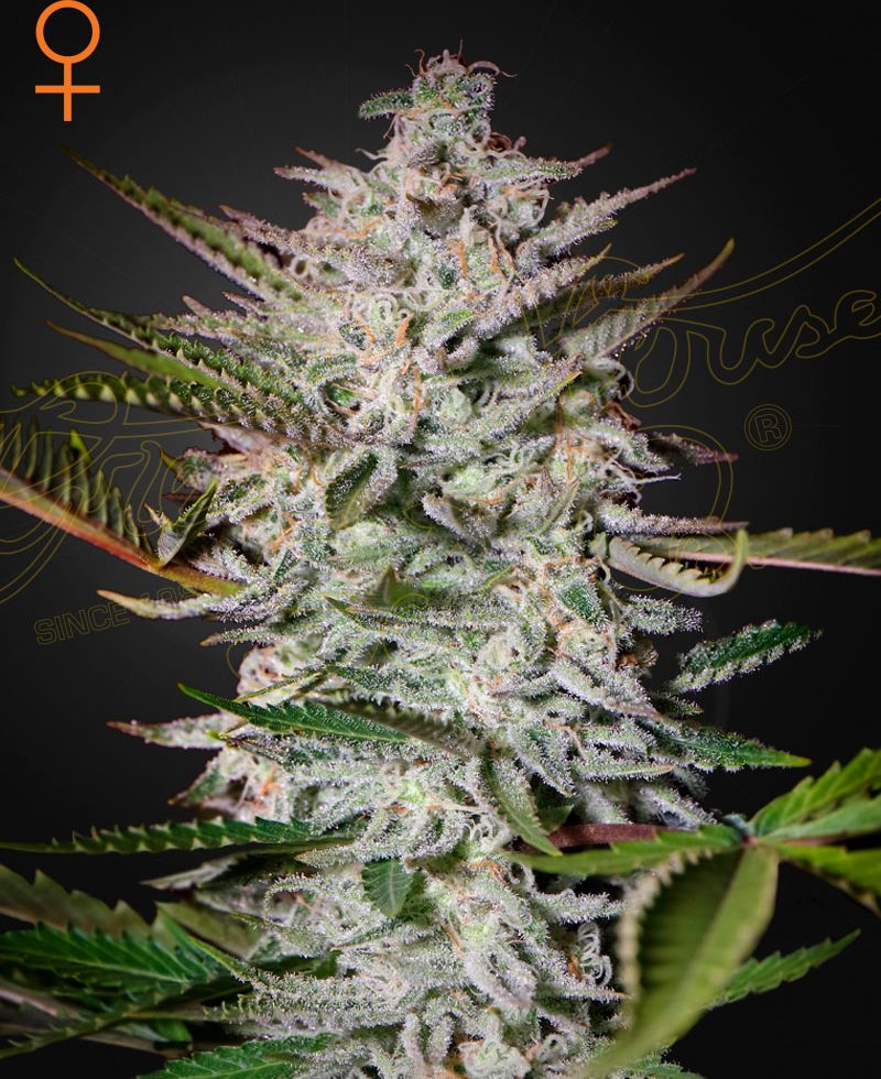 Holy Punch (Feminized Seeds) - Green House Seeds
