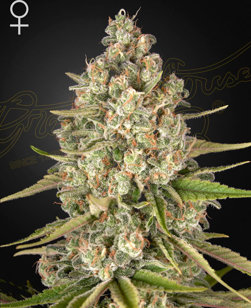 Lost Pearl (Feminized Seeds) - Green House Seeds