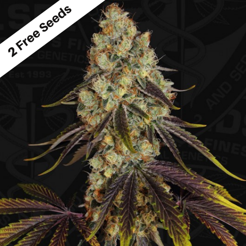 French Cookies (Feminized Seeds) T.H.Seeds