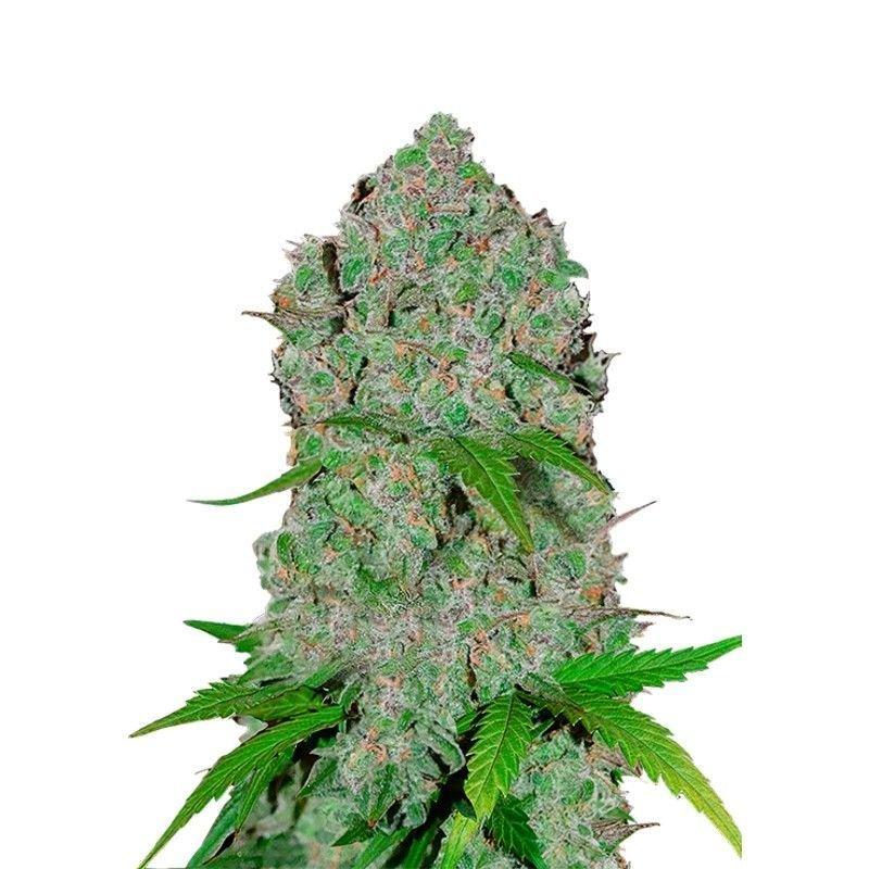 Orange Sherbet Auto (Autoflowering Seeds) - Fast Buds
