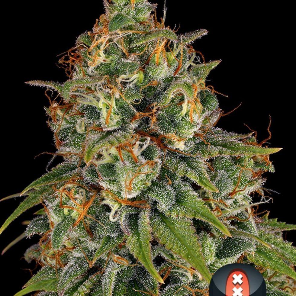 Strawberry AKeil (Feminized Seeds) - Serious Seeds