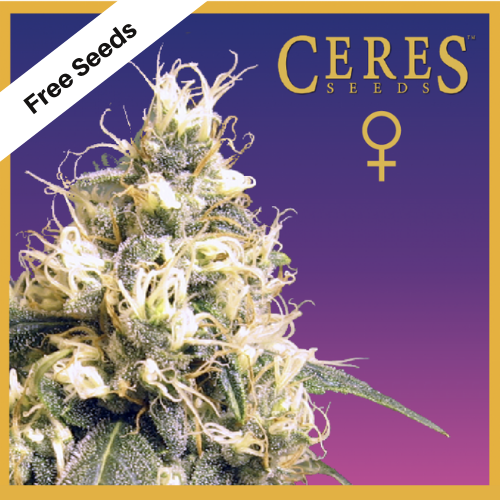Ceres Kush (Feminized Seeds) - Free Seeds - Ceres Seeds