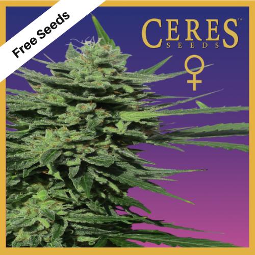 Lemonesia (Feminized Seeds) - Free Seeds - Ceres Seeds