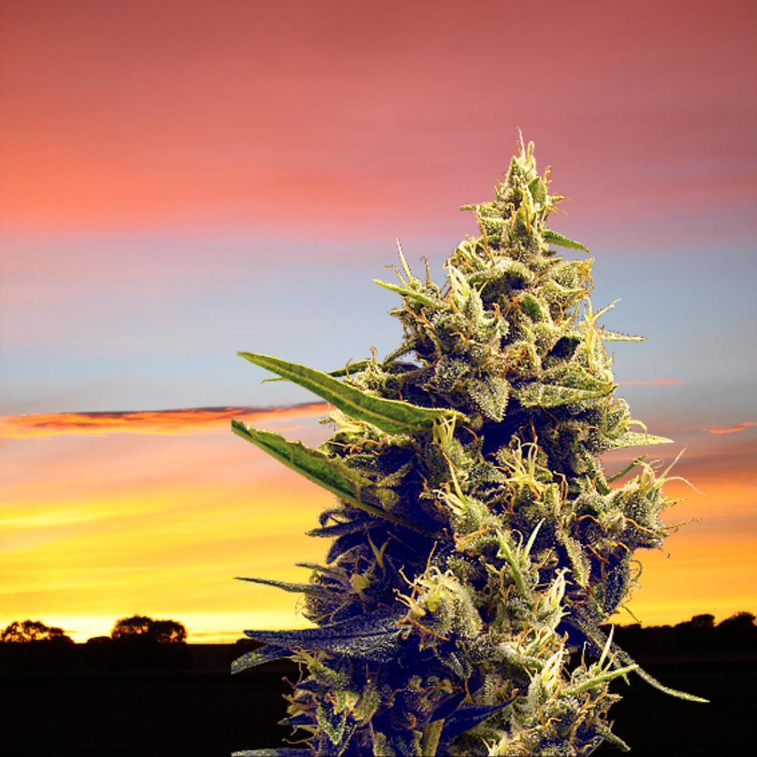 Cannabis Seeds - Autumn Colors