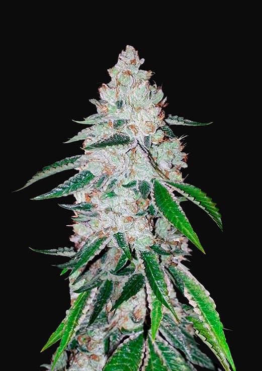 West Coast O.G. Auto (Autoflowering Seeds) - Fast Buds