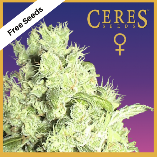 White Indica (Feminized Seeds) - Free Seeds - Ceres Seeds