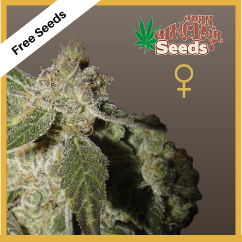 White Panther (Feminized Seeds) - Free Seeds - John Sinclair Seeds