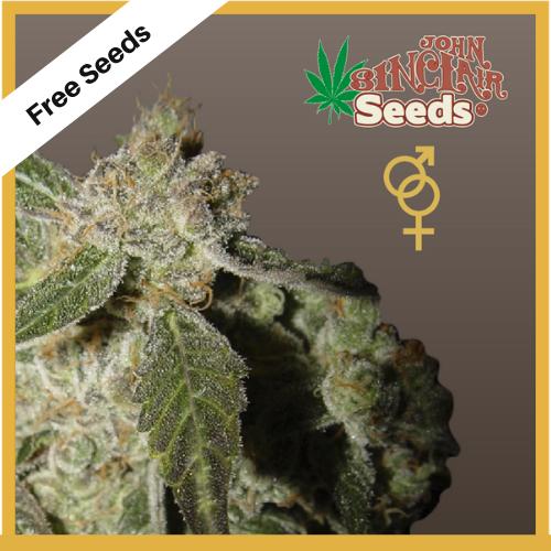 White Panther (Regular Seeds) - Free Seeds - John Sinclair Seeds