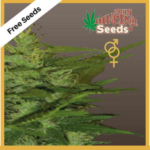 Zenta (Regular Seeds) - Free Seeds - John Sinclair Seeds