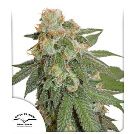 Auto Orange Bud (Autoflowering Seeds) - Dutch Passion
