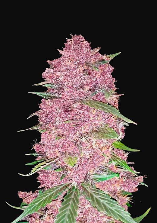 Purple Lemonade Auto (Autoflowering Seeds) - Fast Buds