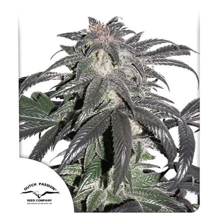Bubba Island Kush (Feminized Seeds) - Dutch Passion